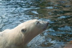 White polar bear in water. Big arctic polar bear coming out of the water, close-up stock images