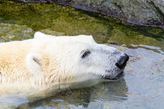 White Polar Bear In Water. White Polar Bear Relaxing In Water Royalty Free Stock Image