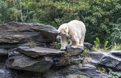 White polar bear. In a Zoo royalty free stock image