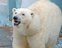 White polar bear. In zoo on blue background royalty free stock photography