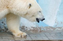 White polar bear. In zoo on blue background royalty free stock images