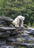 White polar bear. In a Zoo stock images