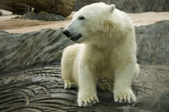 White polar bear in zoo Royalty Free Stock Image