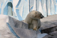 White polar bear. In Zoo stock photography