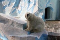 White polar bear. In Zoo stock photos