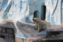 White polar bear 18667. White polar bear in Zoo 18667 royalty free stock image