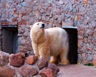 White polar bear. In Zoo royalty free stock photos