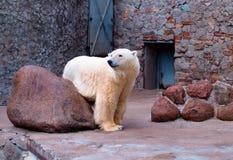 White polar bear. In Zoo royalty free stock photo