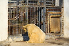 White polar bear in zoo Royalty Free Stock Images