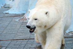 White polar bear Royalty Free Stock Photos