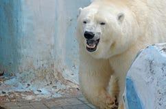 White polar bear Stock Photography