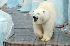 White polar bear Stock Photos