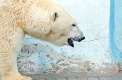 White polar bear Royalty Free Stock Photography