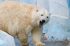White polar bear Stock Photo