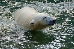 White polar bear Stock Images