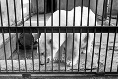 White polar bear in the zoo. White bear in the Zoo moving around the concrete roomand showing teeth in the cage stock photo