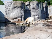 White polar bear in a zoo. Photography of a white polar bear in a zoo. The photography has been taken in Copenhagen in May stock photography