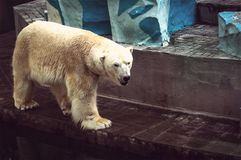 white polar bear at the zoo royalty free stock photography