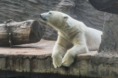 White polar bear in a zoo. Portrait of large white bear in the zoo stock photo