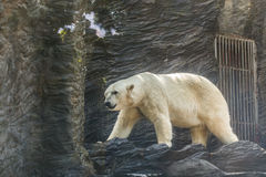 White polar bear in a zoo. Portrait of large white bear in the zoo royalty free stock photos