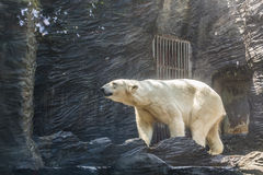 White polar bear in a zoo. Portrait of large white bear in the zoo royalty free stock photo