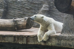 White polar bear in a zoo. Portrait of large white bear in the zoo stock images