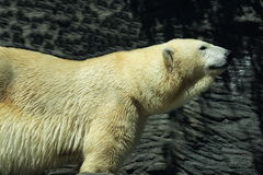 White polar bear in a zoo in Prague, Czech Republic Stock Images