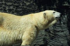 White polar bear in a zoo in Prague, Czech Republic Stock Images
