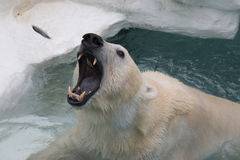 White Polar Bear. Royalty Free Stock Photography