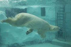 White Polar Bear. White Polar Bear in the zoo. Show time in the zoo, Japan Royalty Free Stock Photos