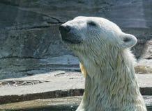 White polar bear in zoo. Summer day stock image