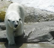 White polar bear in zoo. Summer day royalty free stock images