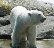 White polar bear in zoo. Summer day royalty free stock photos