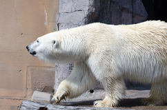White Polar Bear  in the Zoo Royalty Free Stock Images