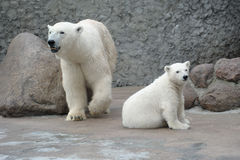 White polar bears family Stock Photos