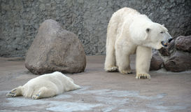 White polar bears family Royalty Free Stock Photos