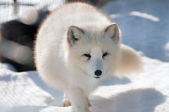 White Polar fox (Alopex lagopus)  on snow Stock Photo