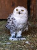 White polar owl eats the mouse stock photos