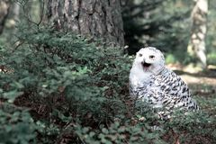 White polar owl in the forest royalty free stock photography