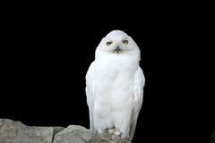 White (polar) owl, separately Royalty Free Stock Photos
