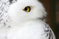 White polar owl Stock Photography