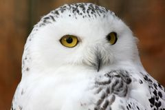 White polar owl Royalty Free Stock Photos