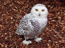 White polar owl Stock Photography