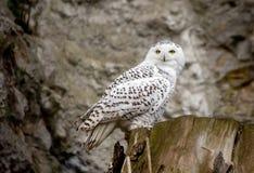 White (polar) owl stock images