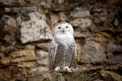 White (polar) owl stock image