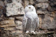White (polar) owl stock photos