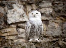 White (polar) owl stock photo