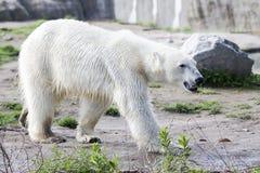 White polar in snowless environment Royalty Free Stock Photo