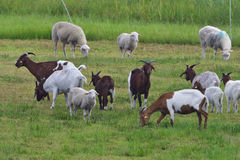 White Polled Heath and Boer goat Royalty Free Stock Image