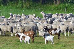 White Polled Heath and Boer goat Royalty Free Stock Photos